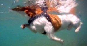 Swimming-Surfing-dog-Bono-Jack-Russell-Terrier-on-holidays-UNDER-WATER-HD